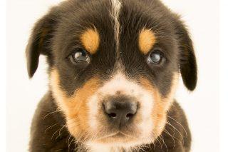 distemper köpek gençlik hastalığı