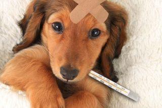 kanlı ishal köpek parvovirus